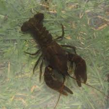 white clawed crawfish 2